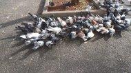 gołębie na placu